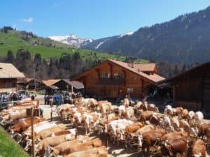 canton de berne suisse vaches